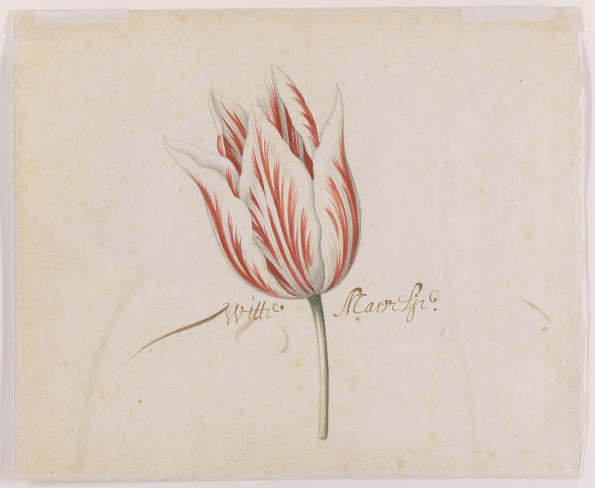 73. Page from the Brandemandus Tulip Album (ii)