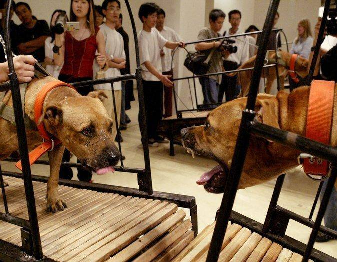 """孙元和彭宇的""""不能彼此接触的狗"""",这是一部七分钟的视频,八个美国公牛在八个跑步机上。 信誉 广场Continua,圣吉米尼亚诺,北京,Les Moulins,哈瓦那"""